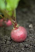 Radish growing in soil (close-up)