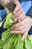 Dirty hands holding fresh spinach plants