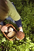 Small boy collecting ceps in a wood