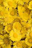 Coltsfoot flowers (full-frame)