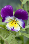 Pansy (close-up)