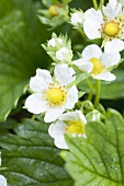 Strawberry flowers (close-up)