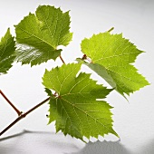 Green vine leaves