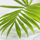 Fan palm leaf with drops of water (detail)