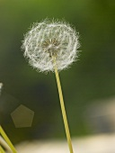 Dandelion clock out of doors