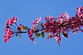 Pink cherry blossom on branch