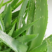 Aloe vera plant with drops of water (detail)