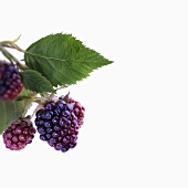 Unripe blackberries with leaves