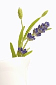 Flowering sprig of lavender