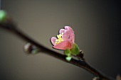 Cherry blossom on branch (close-up)