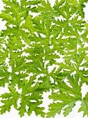 Scented geranium leaves