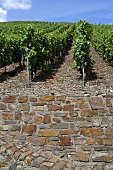 Vineyard with stone wall