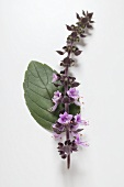 Basil (leaf and purple flower spike)