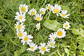 Marguerites forming a heart in grass