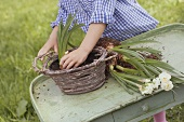 Child planting narcissi in a wicker basket