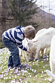 Little boy feeding kids in an Alpine pasture