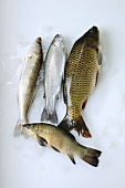 Freshwater fish: pike-perch, trout, carp and tench