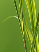 Lemon grass (close-up)