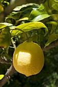 Ripe lemon on the tree (close-up)
