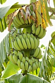 Unripe bananas on the plant