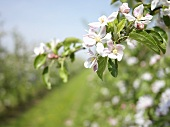 Apple orchard with flowering apple trees