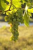 Trebbiano grapes, Villa Pillo Estate, Tuscany, Italy