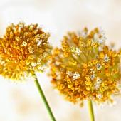 Garlic flowers (close-up)