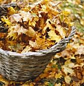 Basket of autumn leaves
