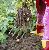 Freshly dug potatoes with soil on garden fork