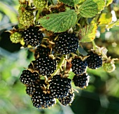 Blackberries on branch (close-up)