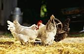 Hens on a farm
