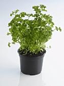 Pot of parsley