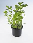 Pot of mint