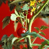 Tomato plant against red background