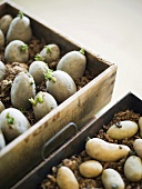 Sprouting potatoes in boxes