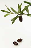 Olive twig with black olives