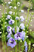 Delphiniums in a garden