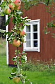 Apples on bough in front of red house in Sweden