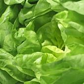 Lettuce (close-up)