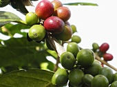 Coffee cherries on the bush