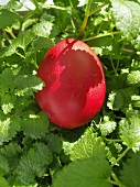 Red Easter egg among lemon balm leaves