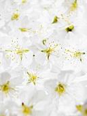 Cherry blossom (full-frame)