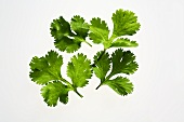 Several coriander leaves