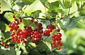 Redcurrants on the bush