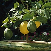Ripe and unripe lemons on a small tree