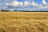 Field of grain in Sweden