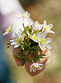 Child's hand holding freshly picked anemones