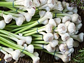 Fresh garlic on a market stall