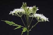 Sweet cicely flowers (Myrrhis odorata)