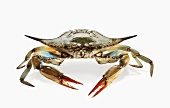 Fresh Whole Crab on White Background